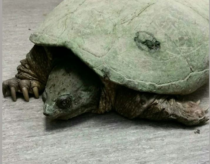 Snapping turtle found crushed after road injuries released ... |Snapping Turtle Injuries Humans